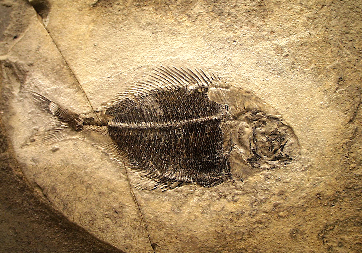 Fossil_fish_Fur_Museum